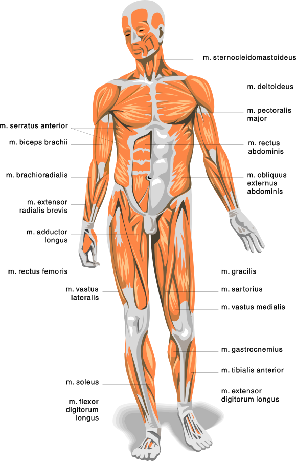 anatomy_body_muscles